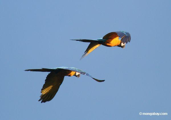 Rainforest Birds Flying Pair of Blue-and-yellow macaws