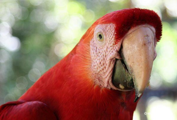 Headshot do macaw do Scarlet (Ara macao)