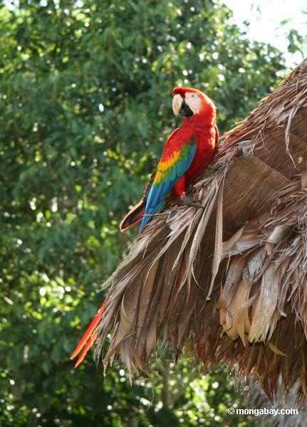 Wild Scarlet macaw (Ara macao) Location: Tambopata rainforest