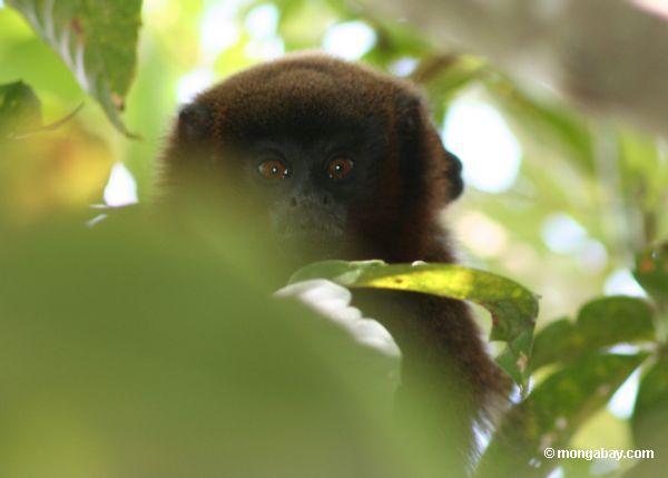сумеречный Тити обезьяна (callicebus SPP.)