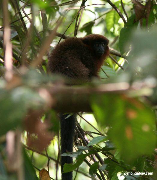 Macaco Dusky do Titi (Callicebus spp.)