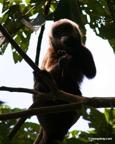 Macaco marrom do capuchin (apella de Cebus) que come a fruta