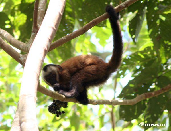 бурый капуцин обезьяна (cebus apella) едят фрукты