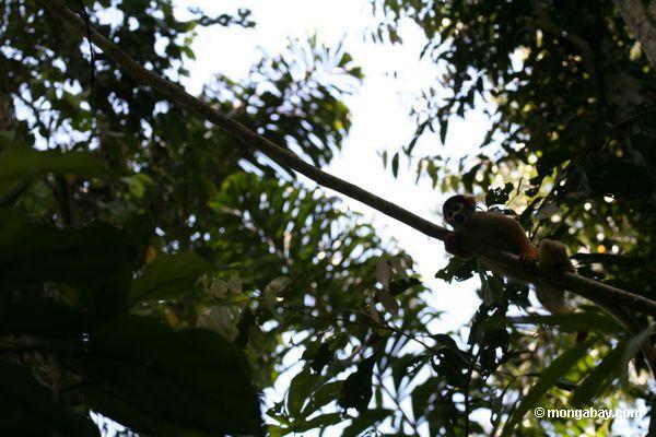 Macaco do esquilo (sciureus de Saimiri)