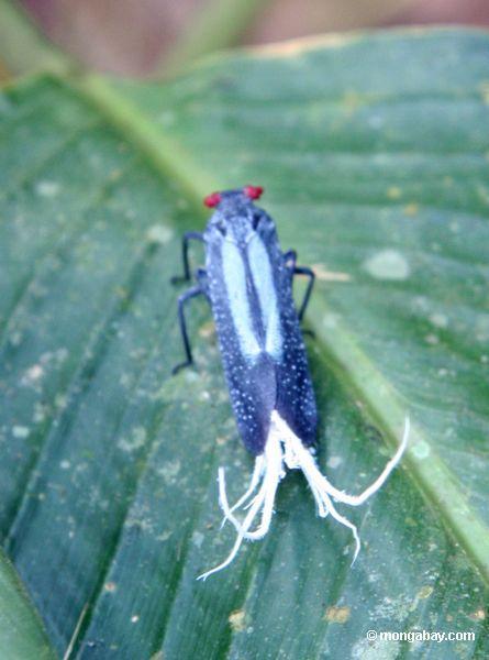 Inseto com olhos, markings de turquesa, e branco vermelhos pena-como appendages perto de sua cauda