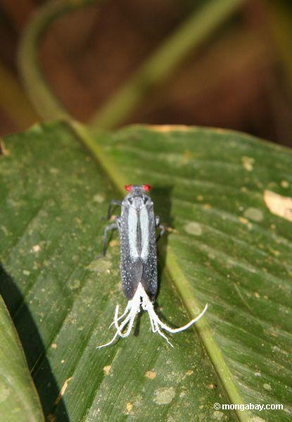 Insekt mit roten Augen, Türkismarkierungen und Weiß Feder-wie Anhängen nahe seinem Endstück