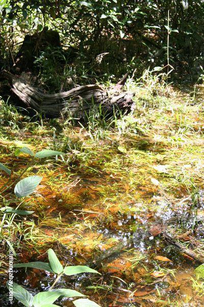 Swamp de Rainforest