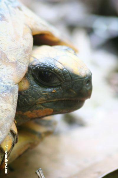 tartaruga Amarelo-footed (denticulata de Geochelone)