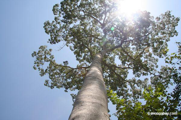 Árvore do dossel