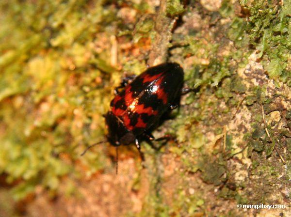 небольшой красный и черный жук