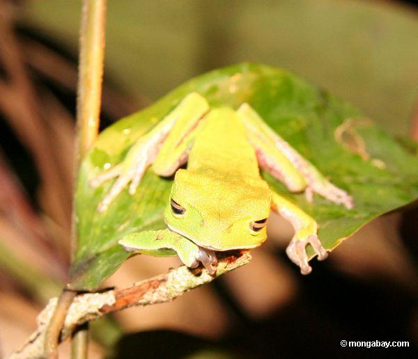 Schlafen Katze-gemusterter Frosch (Phyllomedusea vaillanti)
