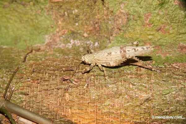 Gafanhoto Camouflaged