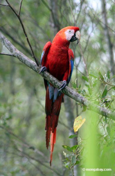 Macaw do Scarlet (Ara macao)