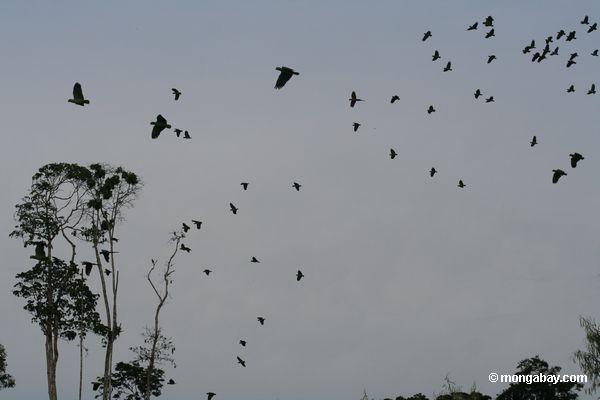 Толпа попугаи в полете
