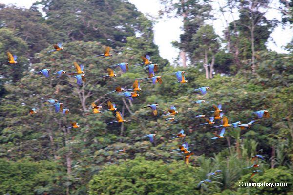 Los guacamayos azul y amarillo