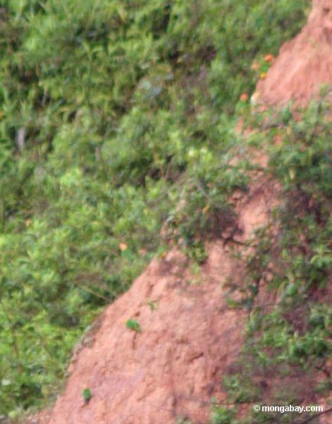 оранжевый cheeck попугаев (pionopsitta barrabandi) или pionites leucogaster питания на глину, очень небольшое