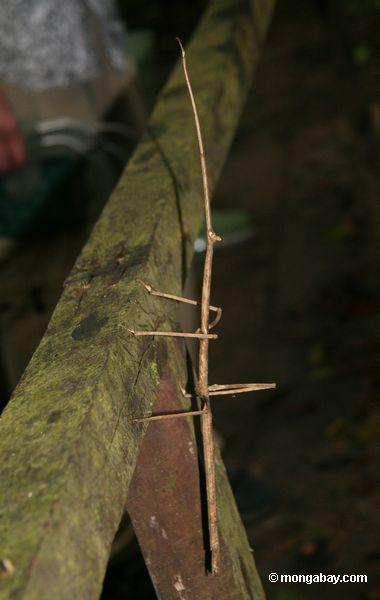 гигант Stick насекомых
