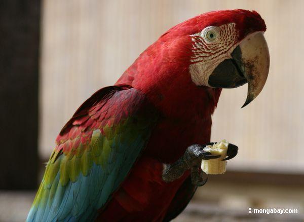 зеленый и красный ара питания на банан