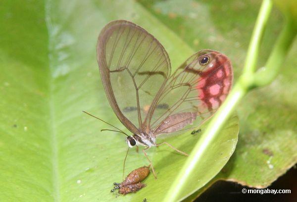 сплошная крылатого cithaerias pireta бабочка питания на навозе