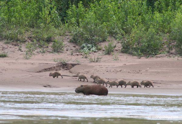 Cabybara com os bebês ao longo do riverside