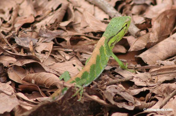 Brilhante desconhecido - lagarto verde no Amazon Peruvian