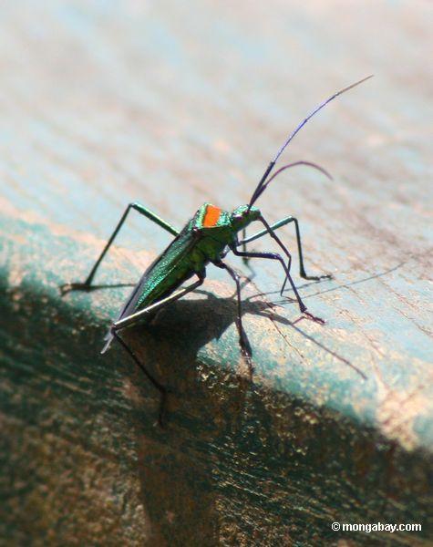 Verde, teal, azul, pruple, vermelho, e inseto do preto em Peru