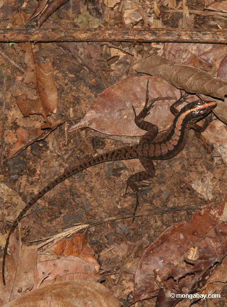 Mabuya bistriata skink (lizard) on forest floor