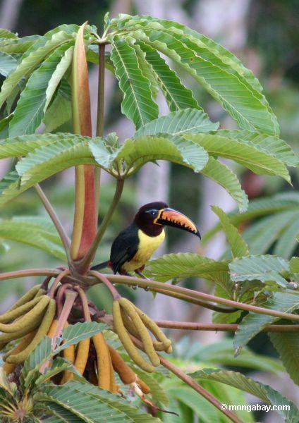 栗耳チュウハシ( pteroglossus castanotis )