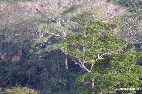 Árvores do dossel de Rainforest