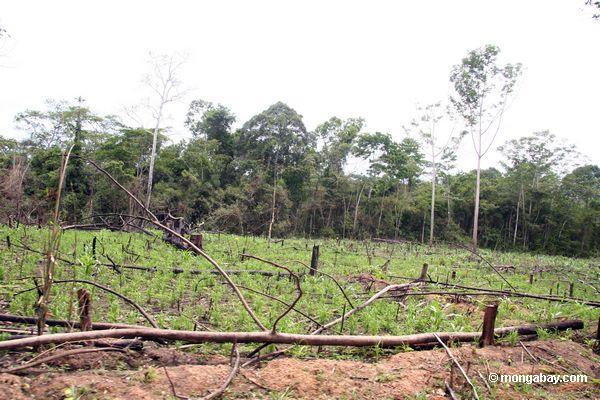 Rainforest cancelou para o maize