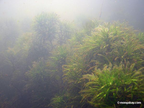 Plantas aquáticas do Foxtail no lago Amazon Oxbow