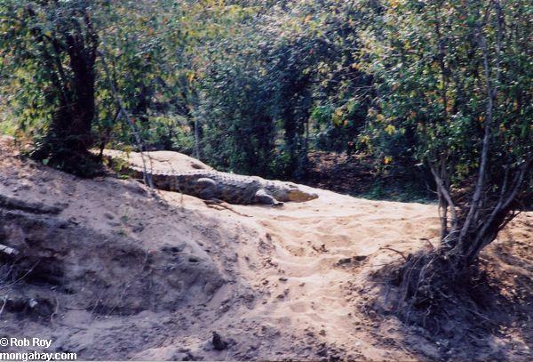 Fauna impressionante de Madagascar. Crocodile_01