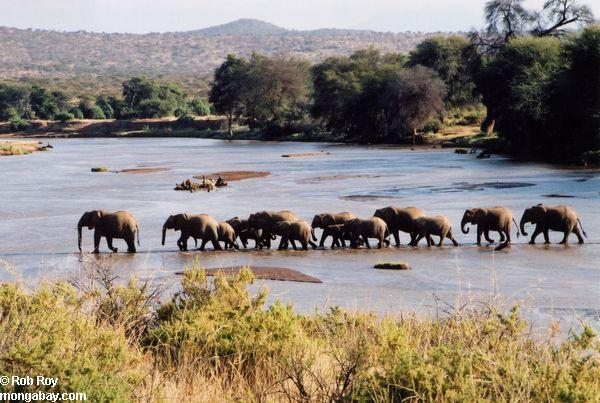 Herd of African elephants crossing a river in Kenya. Photo by: Rob Roy.