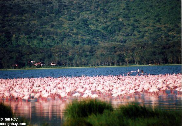 Pink flamingos in Lake Nakuru, Kenya