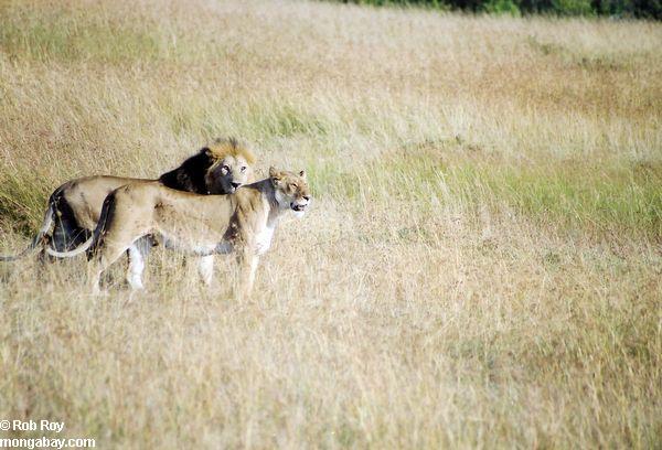 Пара львов в Кении
