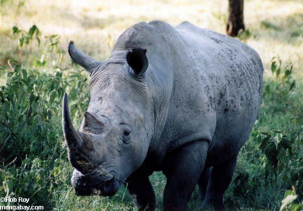 Black rhino (Diceros bicornis) . Photo by Rob Roy.