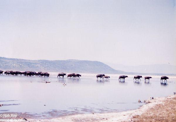 стадо буйволов пересекающих озеро