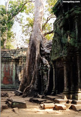 та prohm, Камбоджа