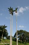 Tall palm trees in the Entebbe Botanical Gardens
