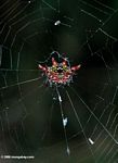 Red and black thorn spider
