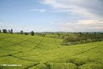 Tea plantation on the rolling hills of Uganda