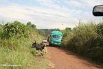 Traffic on a rural Ugandan road