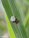 Tiny red beetles with clear insect eggs