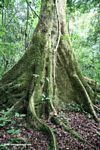 Buttress roots of rainforest tree in Uganda
