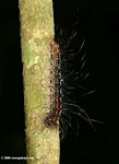 Black caterpillar with red spots
