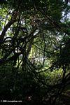 Rainforest in Chambura Gorge