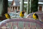 Yellow weavers at breakfast