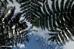 Looking up at tree ferns