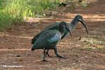 Pair of Hadada ibis (Bostrychia hagedash) crossing a trail.
