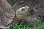 Old tortoise eating grass